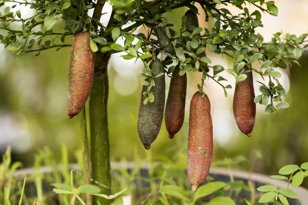 pianta finger lime
